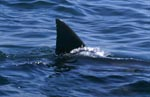 Typical and unique: The dorsal fin of the great white shark