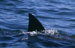 Great White Shark dorsal fin near Seal Island