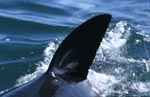Dorsal fin of the Great White Shark, cutting through the water