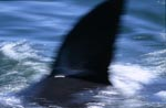 The characteristic dorsal fin of great white shark