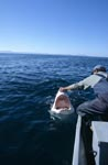 Andre Hartman touches the snout of the Great White Shark