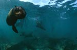 South African Fur Seal approaching underwater