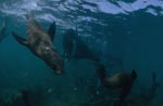Curious South African fur seal underwater