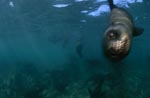 South African fur seal swims to me