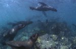 Fur Seals in heavy ground swell