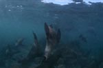 Fur seals in the surf zone