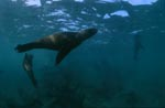 A playful South African fur seal