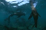 Fur seals just below the water surface