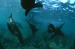 Fur Seals tightly over the seabed