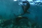 South African Fur Seals over rocky terrain