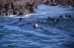 South African Fur Seal attacked of a Great White Shark