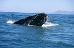 Southern Right Whale breaks through the water surface