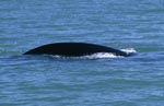 Southern right whale on the coast of de Kelders