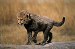 Baby Cheetah walks across a tree stump