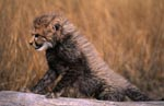 Baby Cheetah is based on a tree stump