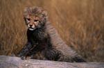 Baby Cheetah supported on a lying tree
