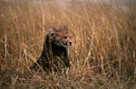 Baby Cheetah on lookout in the tall grass