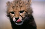 Baby Cheetah close-up