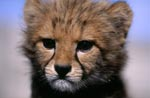 Baby Cheetah portrait