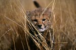 Baby cheetah in tall grass