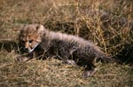 Baby Cheetah in the dry grass