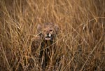 Baby Cheetah looks interesting from the tall grass