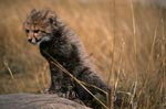 Baby Cheetah climbs on this lying tree trunk