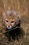 Baby Cheetah in the grass