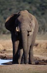 Thirsty African elephant