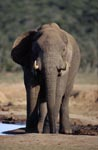 African Elephant checks the location