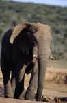 African Elephant leaves the water site