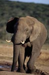 Elephant Bull at the waterhole