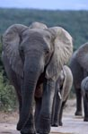 Elephants on the way to the watering hole
