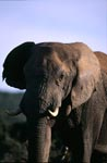 African Bush elephant observes everything exactly