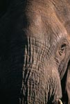 Head close-up of African elephant