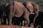 African elephants have found water
