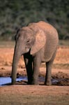 African elephant drinking at the waterhole
