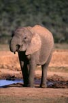 Young African elephant at the waterhole