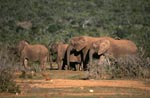 African elephants on the way to the watering hole