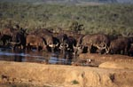Thirsty Cape Buffalo at a waterhole