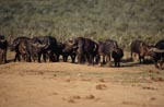 Cape buffalo on the way to the water hole