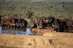 Cape Buffalo reached the waterhole