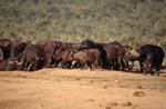 Cape Buffalo crowd at the waterhole