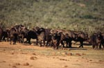 Cape Buffalo shortly before the waterhole