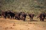 Cape Buffalo examine the situation