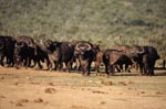 Cape Buffalo in front of the waterhole