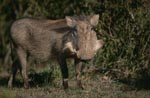 Warthog probed the situation