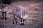 Two warthogs in early morning light