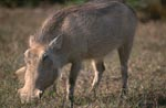 Warthog looks for grass