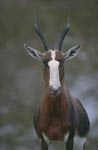 Face to face with the The Bontebok